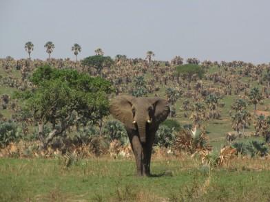 uganda-elephant-pic-by-abby