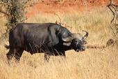 kenya-tsavo-buffalo-111703_640-pixabay