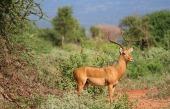 kenya-tsavo-gazelle-2242886_640-pixabay