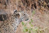 kenya-tsavo-leopard-2011343_640-pixabay