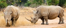 africa-rhino-swaziland-2637414_640-pixabay-HansenHimself