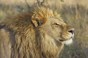 lion-africa-botswana-515028_640-pixabay-designerpoint