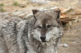 wolf-yellowstone-386345_640-pixabay-wschwisow